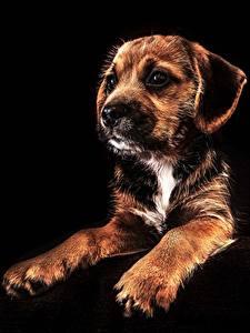 Картинка Собаки Щенок Черный фон Лапы Животные