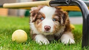 Фотография Собаки Щенки Взгляд Милая Траве Австралийская овчарка животное