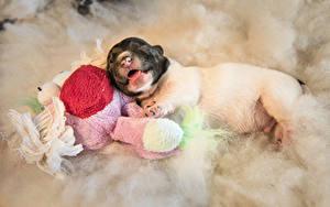 Фото Собака Щенки Джек-рассел-терьер Спящий Животные