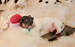 Фотография Собака Щенка Джек-рассел-терьер Спит Животные
