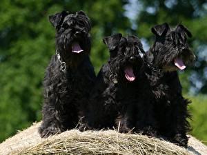 Фотография Собаки Шнауцер Трое 3 Черный Язык (анатомия) Солома Животные