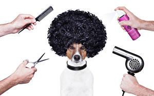 Картинки Собаки Ножницы Джек-рассел-терьер Волос Рука Животные