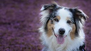 Картинка Собаки Морда Язык (анатомия) Аусси Смотрят животное