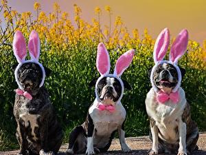 Картинка Собаки Три Ушки кролика Галстук-бабочка Бульдог Юмор