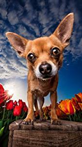 Фотографии Собаки Тюльпаны Поля Небо HDRI Чихуахуа Смотрит Животные