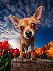 Фотографии Собака Тюльпан Поля Небо HDRI Чихуахуа Смотрит животное