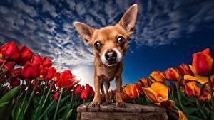 Фотографии Собака Тюльпан Поля Небо HDRI Чихуахуа Смотрит