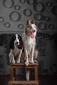 Обои для рабочего стола Собака Двое Бордер-колли Спаниель Языком животное