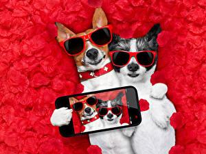 Картинки Собаки Два Джек-рассел-терьер Очки Сматфоном Селфи Лепестки Смешные Животные