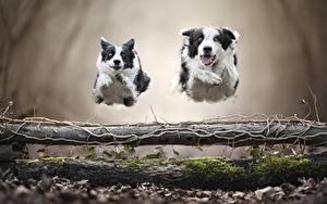 Обои для рабочего стола Собаки 2 Бежит Прыгать Бордер-колли животное