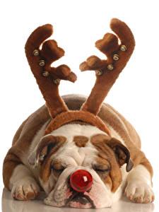 Фотографии Собака Белом фоне Бульдога С рогами Носа Спящий Лап животное