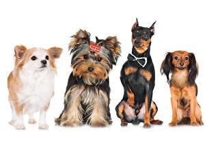 Картинки Собаки Белом фоне Чихуахуа Йоркширский терьер Шпица Бульдог животное