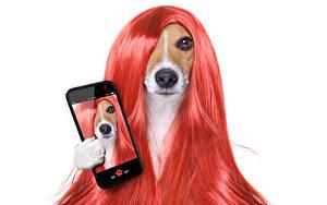 Обои Собака Белый фон Джек-рассел-терьер Волос Смартфон