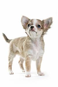 Обои Собака Белом фоне Щенки Чихуахуа Смотрит животное