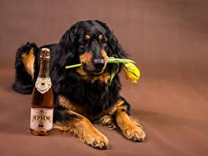Фотографии Собаки Вино Тюльпаны Ретривер Бутылка