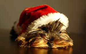 Картинки Собака Йоркширский терьер Щенки Шапка Лежа