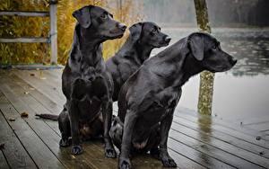 Фотография Собаки Втроем Черный Смотрит Сидящие labrador Животные