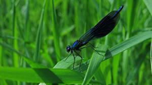 Фотография Стрекозы Вблизи Траве Calopteryx virgo животное