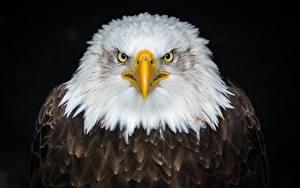 Фотографии Орлы Птицы Белоголовый орлан На черном фоне животное