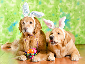 Фотографии Пасха Золотистый ретривер Собака Два Корзина Яйца Ушки кролика Животные