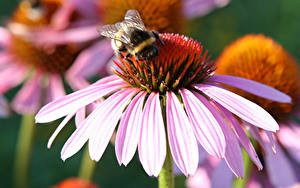 Картинка Эхинацея Вблизи Лепестков Розовая Bumblebee цветок