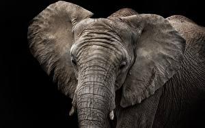 Картинки Слоны Черный фон Животные