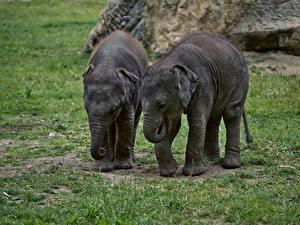 Картинка Слоны Детеныши Траве Двое животное