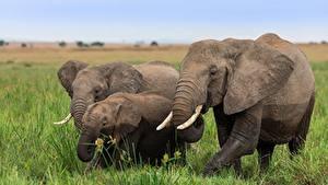 Картинка Слоны Детеныши Три животное