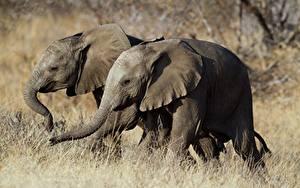 Фотографии Слон Двое Животные
