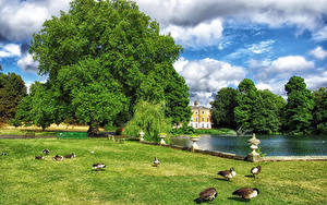 Картинки Англия Парки Пруд Утки Лондоне Трава Дерева Облака Kew Gardens Природа