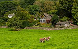 Картинки Англия Овцы Дома Поселок Деревья Траве Grasmere