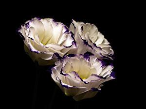 Фотография Лизантус На черном фоне Трое 3 Цветы