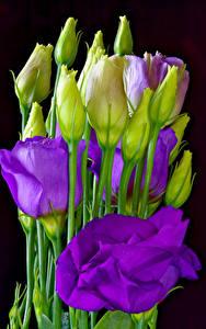 Обои Эустома Вблизи Черный фон Бутон Фиолетовый Цветы