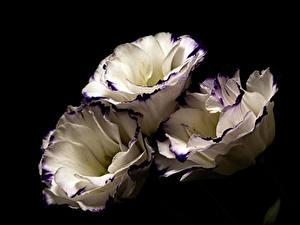 Фото Лизантус Вблизи На черном фоне Втроем Белая цветок
