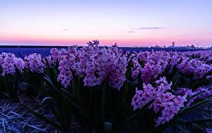 Картинка Поля Гиацинты Розовая Цветы