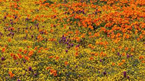 Фотографии Поля Мак Лютик Lancaster Цветы
