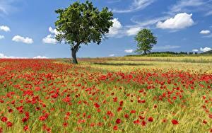 Картинка Поля Мак Лето Деревьев Цветы