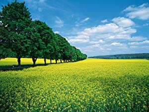 Картинки Поля Рапс Деревьев Природа