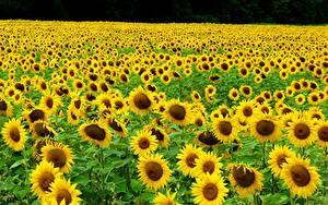 Фото Поля Подсолнечник Много Желтый Цветы