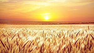 Фотографии Поля Рассвет и закат Горизонта Колосок Солнца Природа