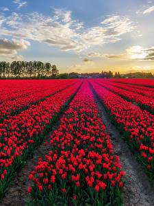 Фотография Поля Тюльпаны Много Бельгия Красный Цветы