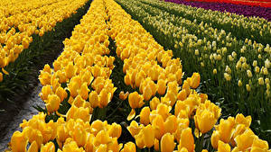 Обои Поля Тюльпаны Желтый Цветы