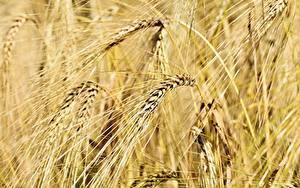Фотография Поля Пшеница Крупным планом Колоски