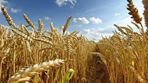 Картинка Поля Пшеница Колосья Тропа