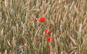 Картинки Поля Пшеница Мак Колосок цветок