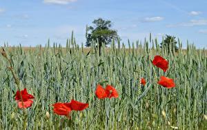 Картинки Поля Пшеница Маки Колоски Красная