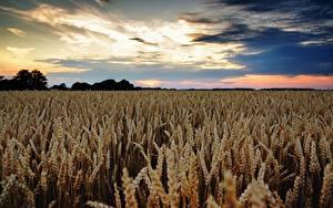 Фотографии Поля Пшеница Небо Колоски Горизонта Природа