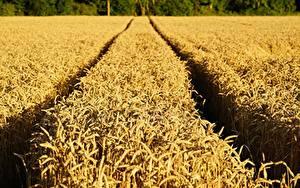 Картинки Поля Пшеница Тропинка Колосок