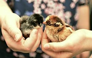 Фото Пальцы Вблизи Птенец курицы Руки Животные