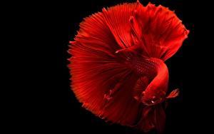 Картинка Рыбы Крупным планом Черный фон Красные Siamese fighting fish животное